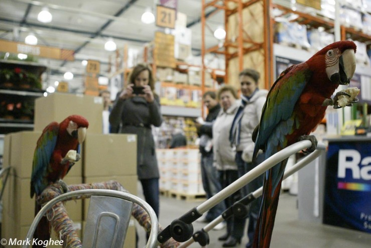 Macaws in Dutch Do It Yourself Hornbach on March 30. The owners take their birds everywhere they go.