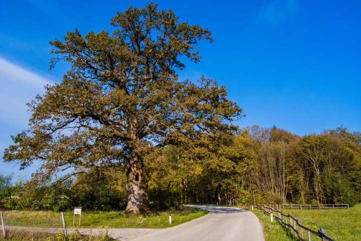 The oak tree in the village of Malence is hundreds of years old and is said to be one of the three most magnificent trees in Slovenia.